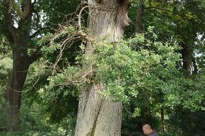 Woburn Abbey, Bedfordshire - Bat Surveys with Tree-Climbing