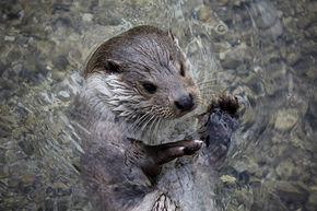 Otter Surveys