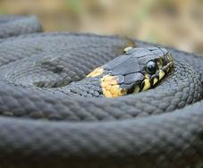 Reptile Surveys